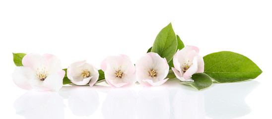 Apple blossom with leaves, isolated on white