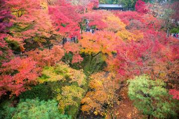 Wall Mural - Momiji, Japanese maple in autumn season