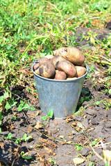 bucket of potatoes in the garden
