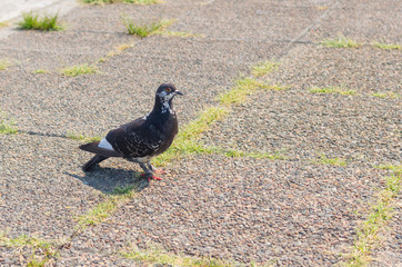 Graceful pigeon on a pavement waiting for free food