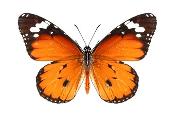 Butterfly / Danaus chrysippus (plain tiger or African monarch)