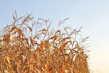 dry corn stalks against the sky