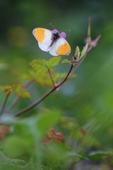 Orange Tip butterfly on purple wild geranium - Geranium robertianum