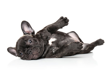 French bulldog pup resting