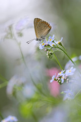 Purple-edged Copper butterfly (Lycaena hippothoe) on Forget-me-not flower (Myosotis arvensis)