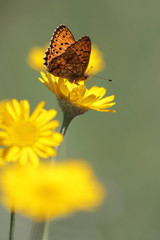 Butterfly on yellow flowers in ngarden