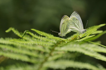 mating Small White butterfly on fern