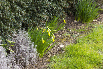 Spring flowerbed with lent lily