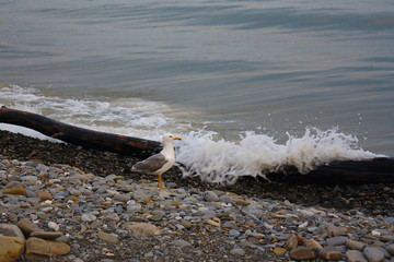 Seagull on the shore on a background the evening sea waves