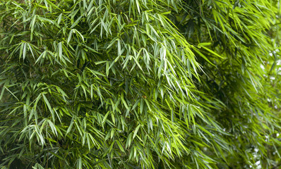 Fresh Bamboo leaves background
