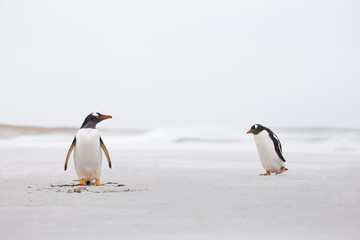 Gentoo Penguins on a deserted white sand beach. Falkland Islands
