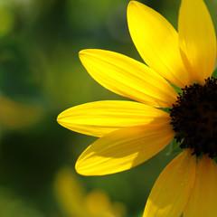 close-up of a beautiful sunflower