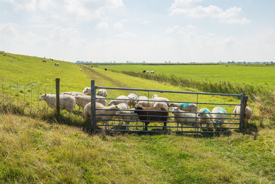 Many sheep behind the gate and the fence