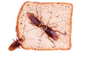 Cockroach on a Piece of Bread