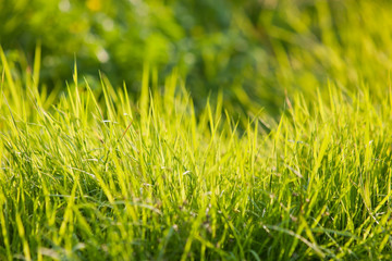 Young green grass illuminated by the sun