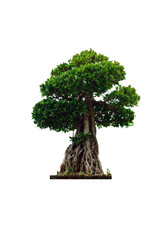 The bonsai tree isolated on white background.