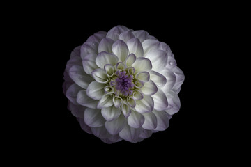 Flower, isolated black background, dahlia, white, yellow,  lilac, purple, dark purple,