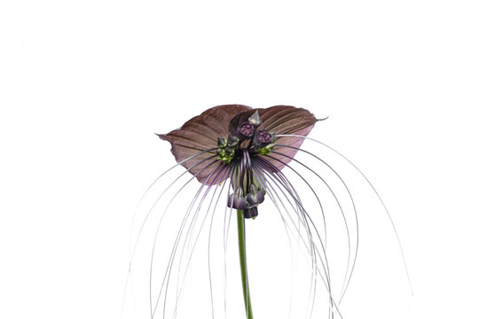 Tacca chantieri var macrantha, black bat flower isolated