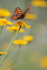 Comma Butterfly - Polygonia c-album butterfly and yellow camomile