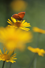 red butterfly Scarce Copper , Lycaena virgaureae