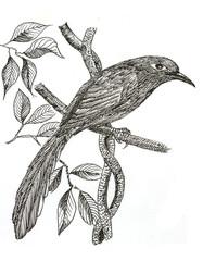 Green-billed Malkoha bird drawing