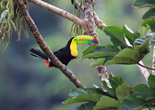 A PERFECT POSE FOR A PERFECT TOUCAN...Toucans are curious.  They watch movement carefully even when high in the trees.  Photographed in the wild in Costa Rica