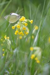 Primula elatior, the oxlip (or True oxlip) with Big White butterfly