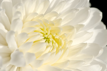 white chrysanthemum flower close-up