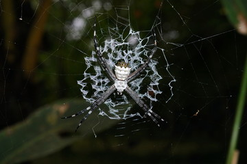Argiope argentata silver argiope spider on its web