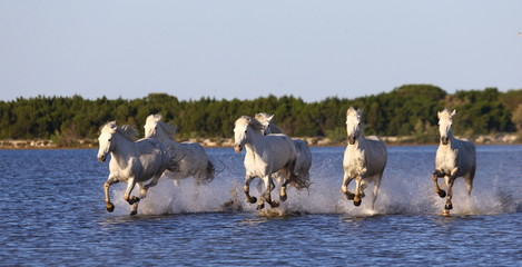 PROVENCE, FRANCE - 08 MAY, 2015: White Camargue Horses run in the swamps nature reserve in Parc Regional de Camargue - Provence, France