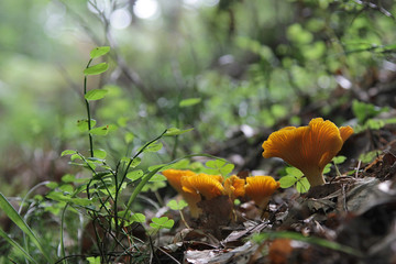 Chanterelle in the forest