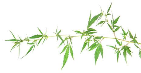 bush cannabis isolated on white background