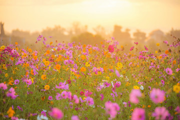cosmos flower field in the morning