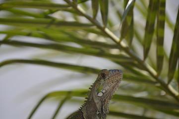 iguana de perfil