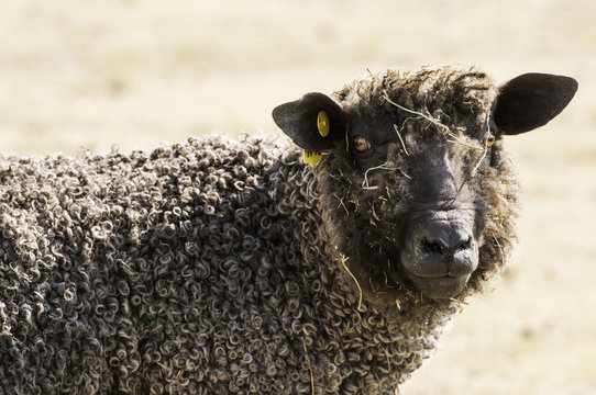 Wooly Sheep in Pasture
