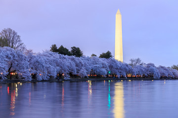 Cherry blossoms in peak bloom. Washington