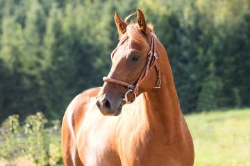 Ein braunes Appaloosa Pferd steht auf der Koppel