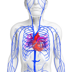 3d rendered illustration of male heart anatomy