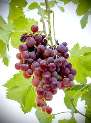 Vine with bunches of grapes a sunny summer day
