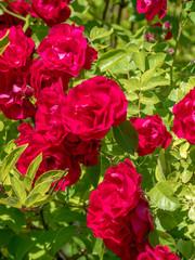 Fragrant purple Rose in Full Bloom.
