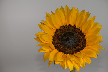 close-up of a beautiful sunflower  on a gray background