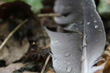 Pigeon's feather covered with raindrops