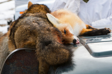 Dead foxes