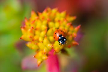 ladybug sitting Rhodiola rosea summer