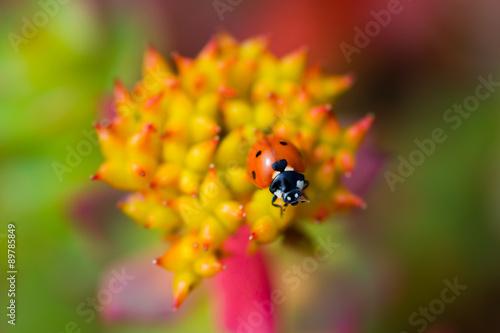 ladybug sitting rhodiola rosea summer stockfotos und lizenzfreie bilder auf bild. Black Bedroom Furniture Sets. Home Design Ideas