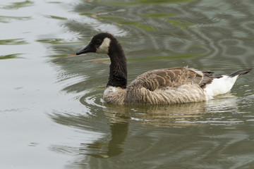 A Canada Goose swimming in a pond