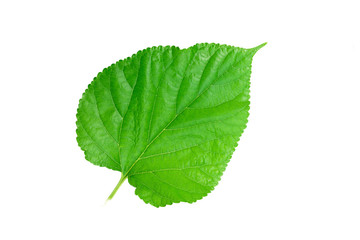 green leaf on a white 1