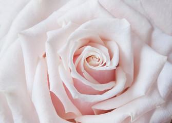 Beautiful rose macro