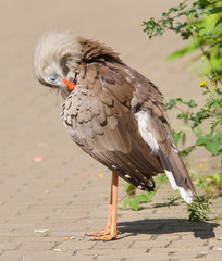 Red-legged seriema or crested cariama (Cariama cristata)