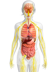 Female body of Nervous and digestive system artwork